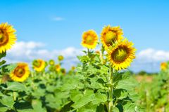 A field of bright yellow sunflowers lit by morning sun with blue stock images