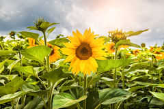 Field with bright yellow sunflowers. Summer landscape Royalty Free Stock Image