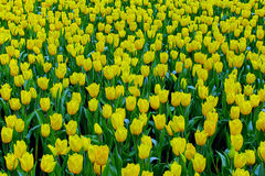 Field of bright yellow tulips Stock Photos
