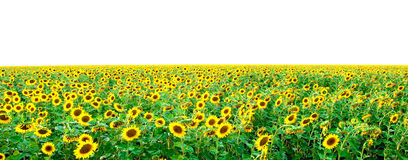 Field from bright young sunflowers Stock Image