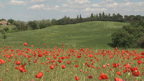 Field of brightly colored poppy flowers in spring Stock Photos
