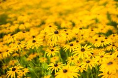 A field of brightly colored yellow flowers stock photo