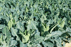 Field with broccoli Stock Photo