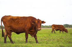 Field Brown Cow Royalty Free Stock Photo