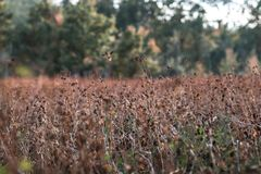 A field of brown gras flowers taken in the season fall. outdoor, ending summer, colourful, leaves; royalty free stock photography