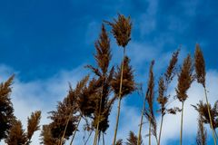 Brown plants tend to beautiful blue sky and white clouds. In the field brown plants tend to the sun, beautiful blue sky and white clouds royalty free stock photo