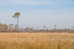 Field of Brown Swamp Grass at Mackay Island Stock Photo