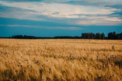 Field of Brown Wheat Royalty Free Stock Photos