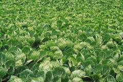 Field of brussel sprouts Royalty Free Stock Photo