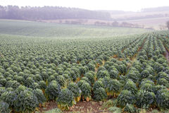 Field of Brussel sprouts in the UK Stock Photos