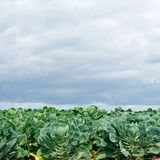 Field with brussels sprout Stock Image