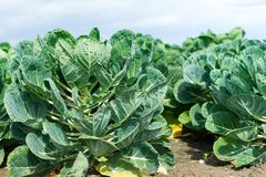 Field with brussels sprout Stock Photography