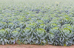 Field of Brussels Sprouts plants (Brassica oleracea) Royalty Free Stock Image