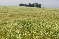 Field of buck wheat Stock Photo