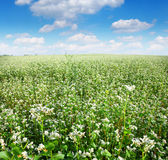 Field of buckwheat Royalty Free Stock Image