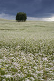 Field of buckwheat. Royalty Free Stock Photo