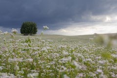 Field of buckwheat. Royalty Free Stock Image