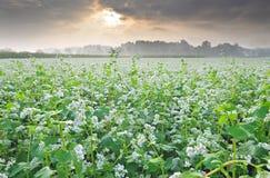 Field of buckwheat Royalty Free Stock Image