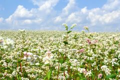 Field of buckwheat Royalty Free Stock Photos