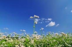 Field of buckwheat Stock Photo