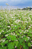 Field of buckwheat Royalty Free Stock Images