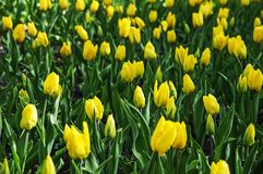 The field of bud yellow tulips. Background of yellow tulips. Background women`s day royalty free stock images