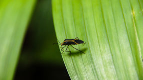 Field bug Royalty Free Stock Images