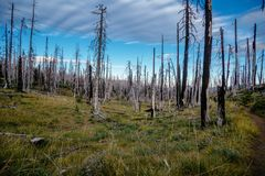 Field of burned dead conifer trees with hollow branches in beautiful old forest after devastating wildfire in Oregon, with beautif. Ul blue sky royalty free stock image