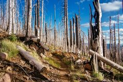 Field of burned dead conifer trees with hollow branches in beautiful old forest after devastating wildfire in Oregon, with beautif. Ul blue sky stock photos