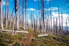 Field of burned dead conifer trees with hollow branches in beautiful old forest after devastating wildfire in Oregon. With beautiful blue sky royalty free stock photo