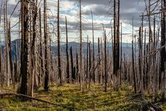 Field of burned dead conifer trees with hollow branches in beautiful old forest after devastating wildfire in Oregon. With beautiful blue sky royalty free stock image