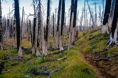 Field of burned dead conifer trees with hollow branches in beautiful old forest after devastating wildfire in Oregon. With beautiful blue sky stock images