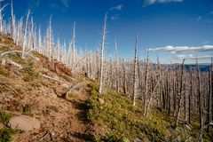 Field of burned dead conifer trees with hollow branches in beautiful old forest after devastating wildfire in Oregon. Burned dead conifer trees with hollow stock photos