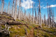 Field of burned dead conifer trees with hollow branches in beautiful old forest after devastating wildfire in Oregon. With beautiful blue sky stock image