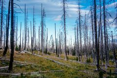Field of burned dead conifer trees with hollow branches in beautiful old forest after devastating wildfire in Oregon. With beautiful blue sky royalty free stock images