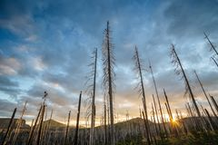 Field of burned dead conifer trees with hollow branches in beautiful old forest after devastating wildfire in Oregon. Field of burned dead conifer trees with royalty free stock image