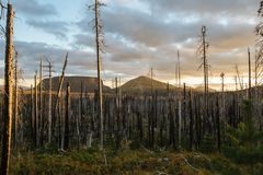 Field of burned dead conifer trees with hollow branches in beautiful old forest after devastating wildfire in Oregon. Field of burned dead conifer trees with royalty free stock photo