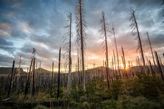 Field of burned dead conifer trees with hollow branches in beautiful old forest after devastating wildfire in Oregon. Field of burned dead conifer trees with royalty free stock images