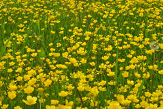 Field of buttercups Royalty Free Stock Image