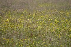 Field with buttercups. In Wijster, Netherlands Stock Photography