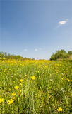 Field of buttercups Royalty Free Stock Photo