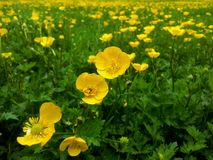 Field of buttercups Stock Photo