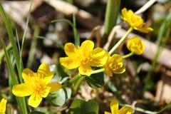Field buttercups close-up Stock Photo