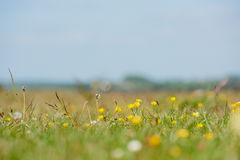 Field of Buttercups Stock Image
