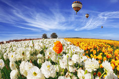 The field of buttercups (Ranunculus asiaticus) Royalty Free Stock Photos