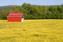 Field of Buttercups Royalty Free Stock Photography