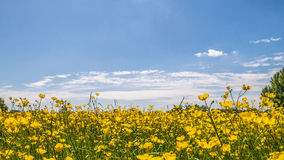 Field of Buttercups under a blue Sky Royalty Free Stock Image