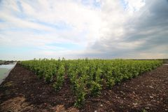 Field of buxus plants on a nursery in Boskoop with dark clouds in wide-angle.  Stock Image