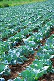 A field with cabbage. Stock Photo