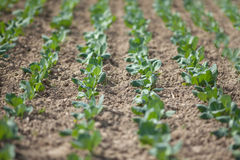 Field of cabbage cultivated under greenhouse Royalty Free Stock Photography